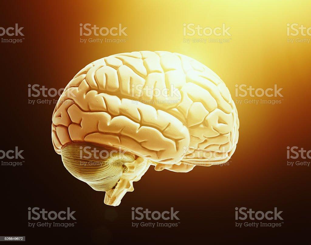 Brainwave Human Brain Model Bathed In Warm Golden Light Stock Photo ...