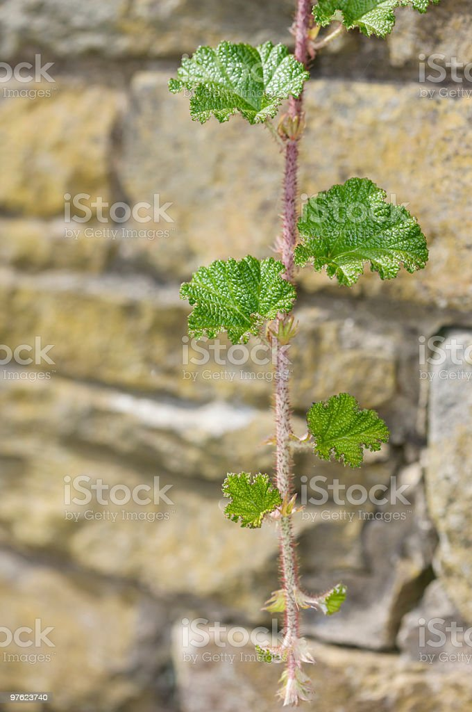 Bramble leaves and thorny branch royalty-free stock photo