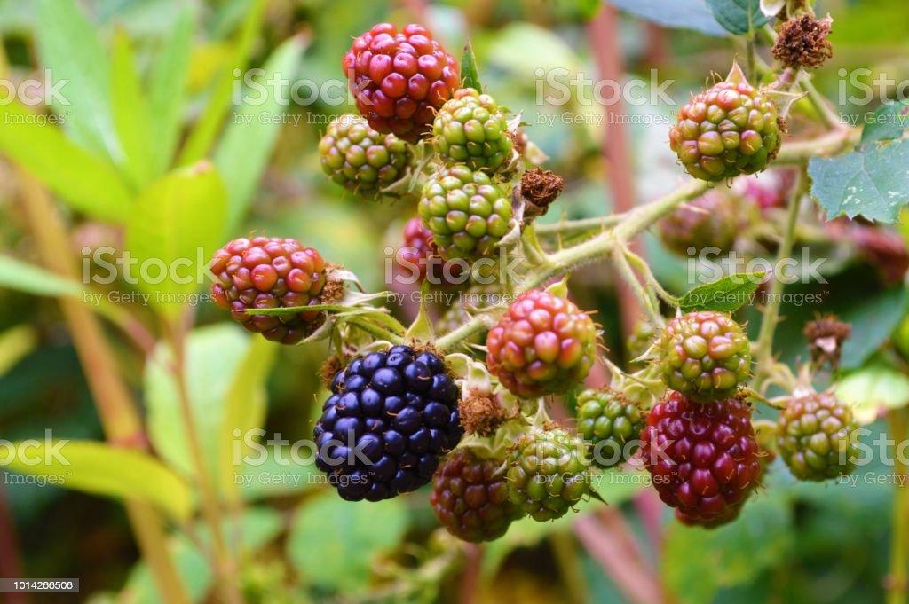 Brombeere (Rubus Fruticosus). – Foto
