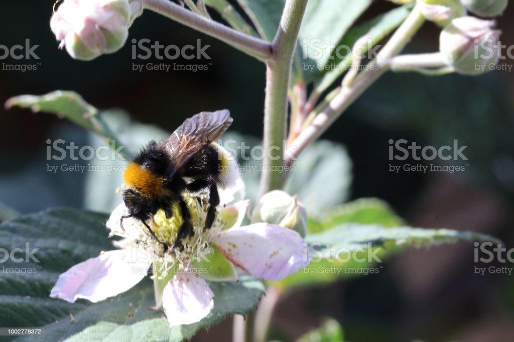 Brambleberry flower and bumble bee macro on bush stock photo
