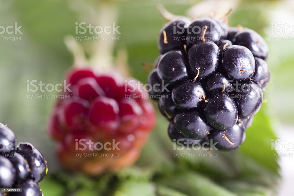 brambleberry foliage detail royalty-free stock photo