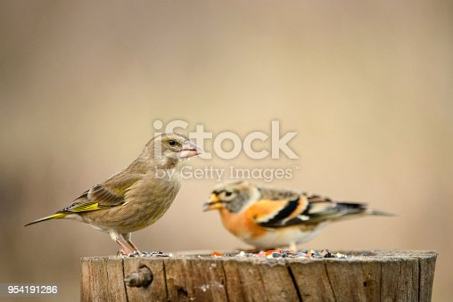 Brambling (Fringilla montifringilla) and Green finch (Carduelis chloris) on the winter bird feeder.