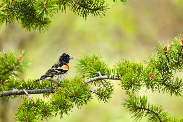 Brambling, Fringilla montifringilla on a pine branch.Wildlife scene from Varangerfjord, Norway. stock photo