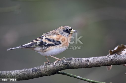 Brambling, Fringilla montifringilla, single male on branch, Staffordshire, January 2017