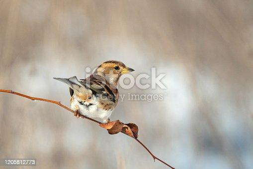 Brambling fringilla montifringilla sits on a beautiful branch.