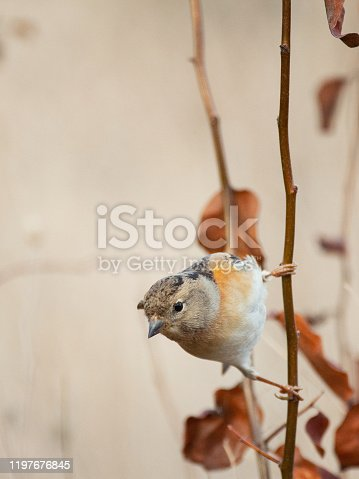Brambling, Fringilla montifringilla, sitting on a stick on a beautiful background.