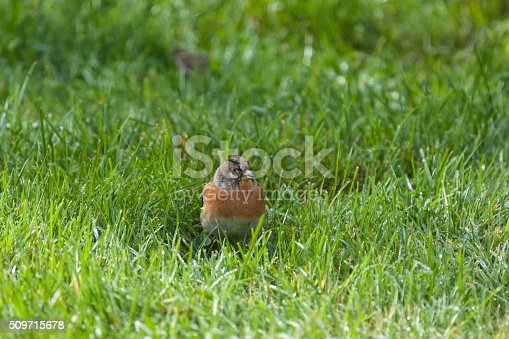 young finch sitting in grass, front view