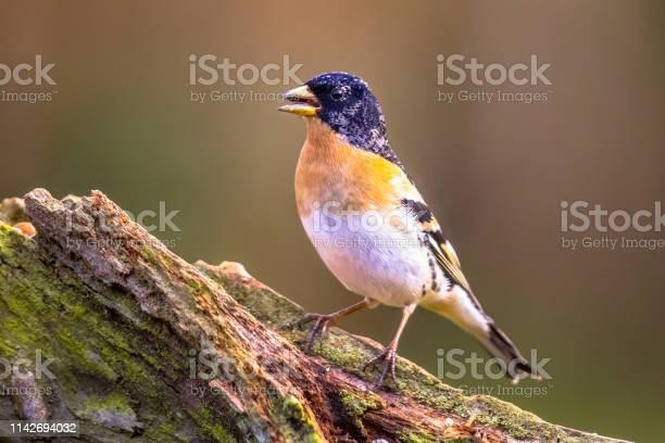 Brambling passerine bird picture id1142694032?b=1&k=6&m=1142694032&s=612x612&h=im722otb0tyvcesbosbrum awunl8frb1fl10qumz s=