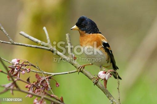 male Brambling (Fringilla montifringilla)