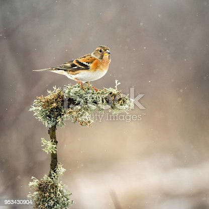 Brambling (Fringilla montifringilla) sitting on a beautiful stick with moss.