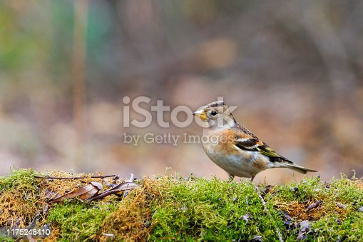 brambling stands among autumn colors , fall and wildlife