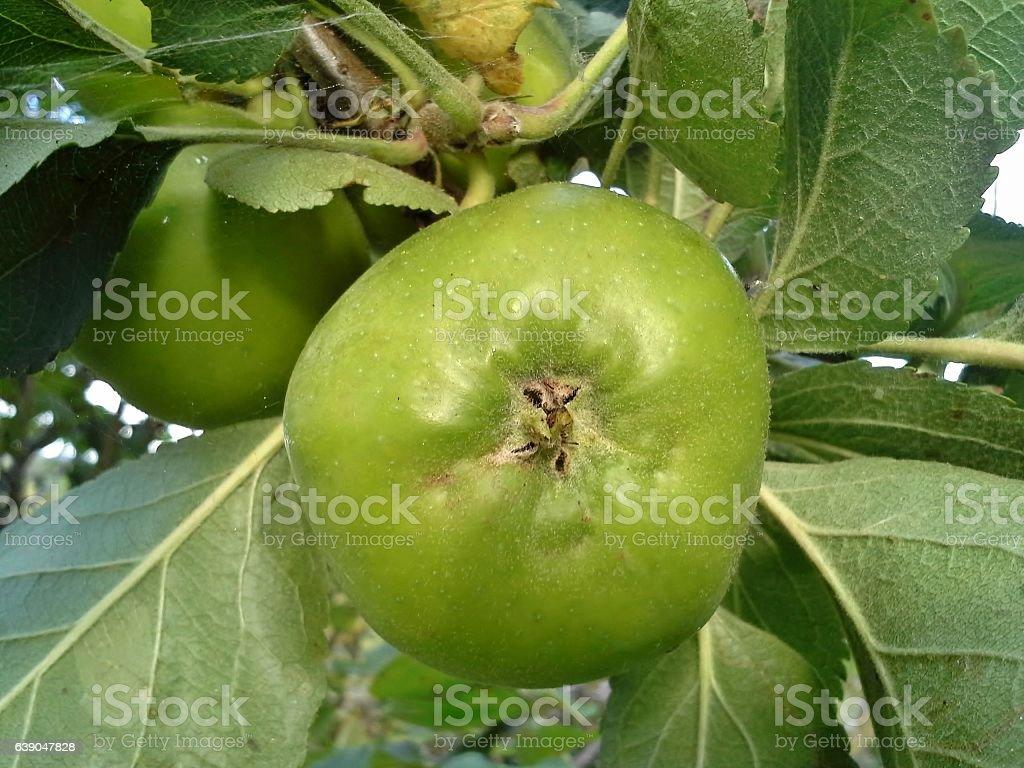 Bramley Apple stock photo