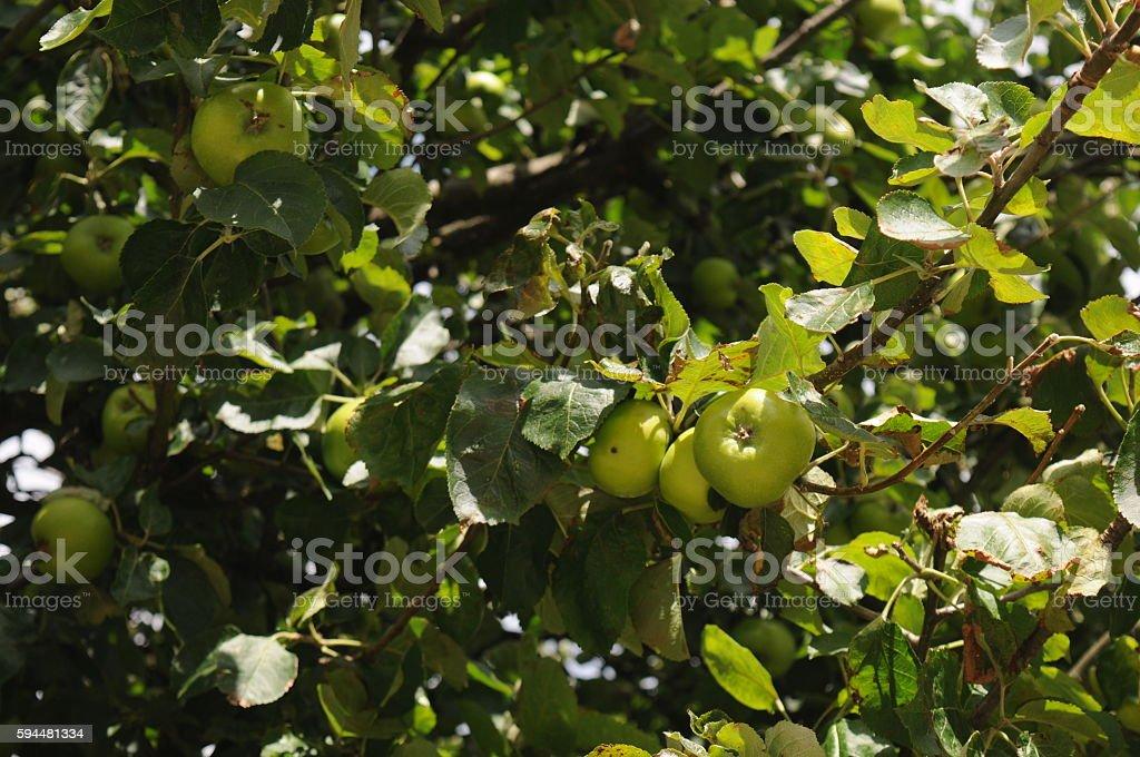 Bramley apple tree stock photo
