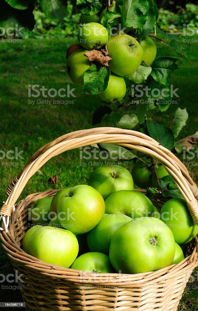Bramley Apples. stock photo