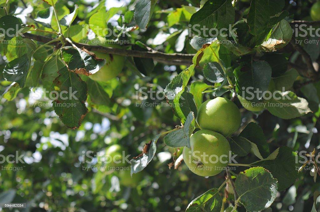 Bramley apples stock photo