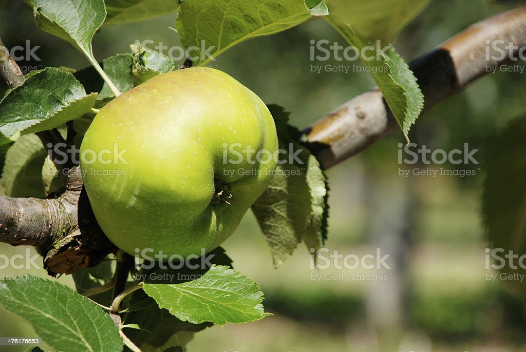 Bramley cooking apple ripening on the branch stock photo