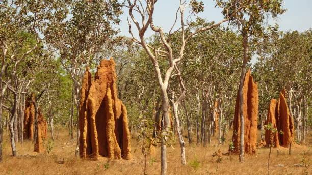 bramwell junction, qld - termietenheuvel stockfoto's en -beelden