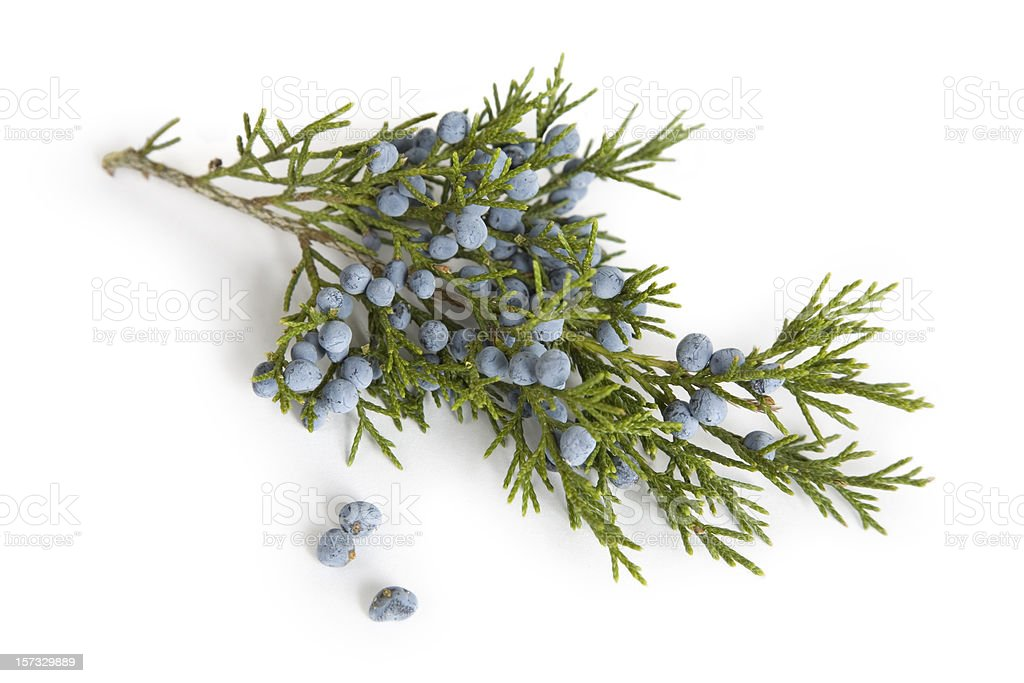 Branch and Berries  of Juniper (Cedar) Tree stock photo