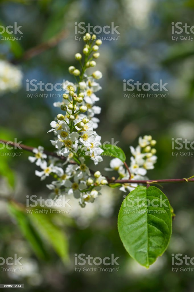 branch and blossom of bird cherry stock photo