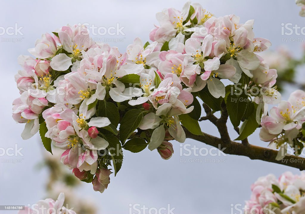 Branch apple trees with flowers by springtime royalty-free stock photo