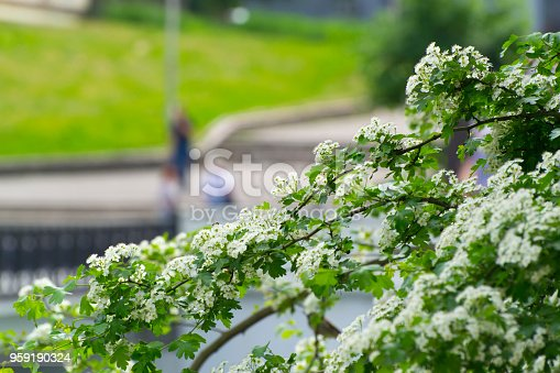 948743278istockphoto Branch blooming hawthorn in the spring 959190324