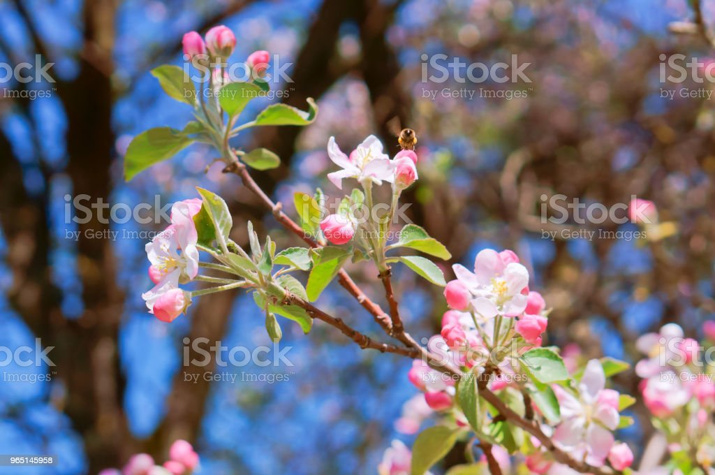branch blooming with pink flowers, flowering branch of Apple, Apple and bee flowers royalty-free stock photo