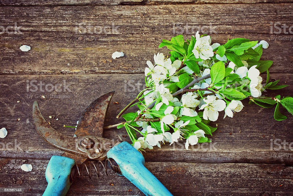 branch blossoming plum and rusty garden pruner stock photo