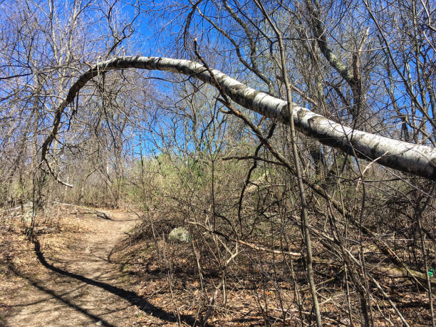 IMG_7413 Branch extending across path in wooded area in spring stock photo