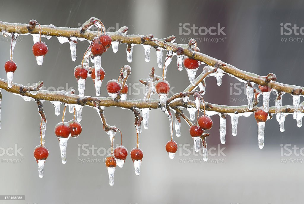 Branch full of frozen berries. royalty-free stock photo