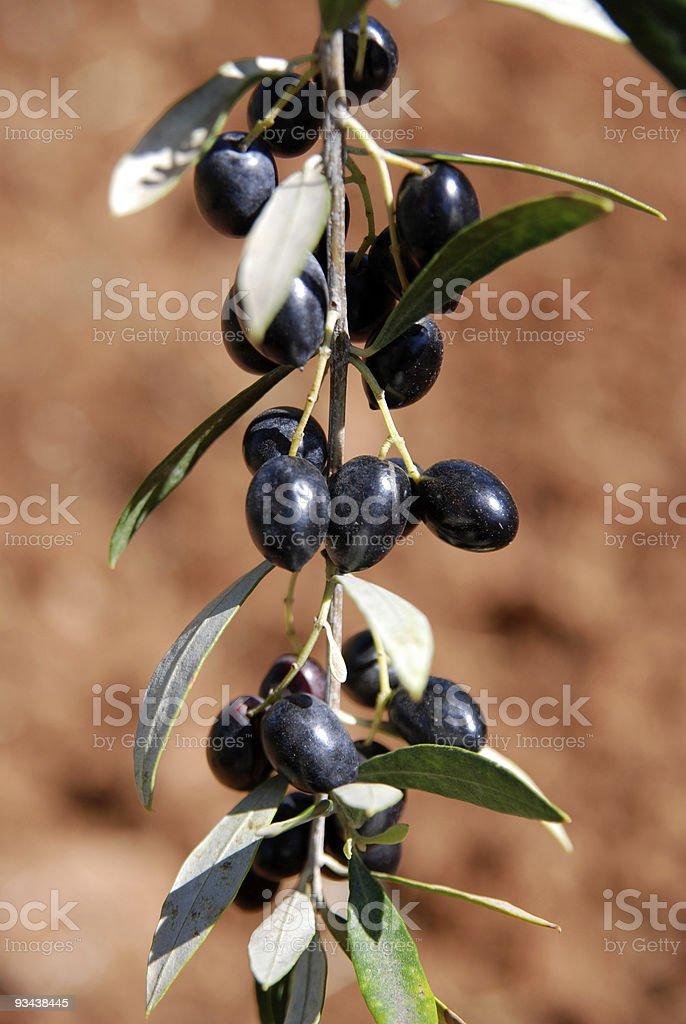 branch full of greek black calamata olives royalty-free stock photo
