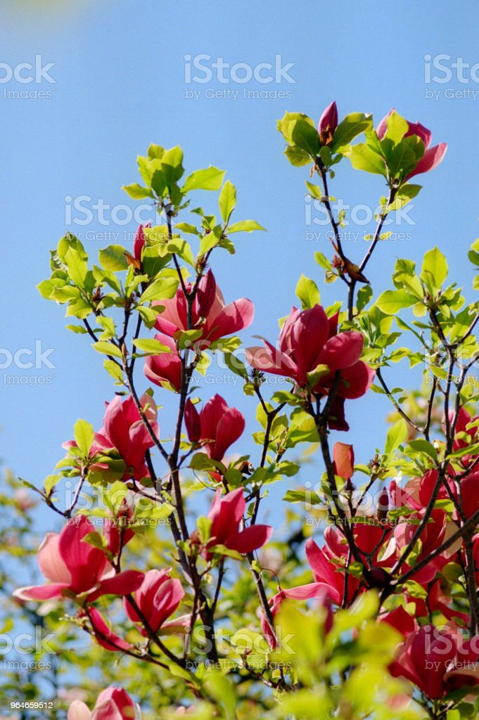 Branch full of red magnolia flowers. Shot on film royalty-free stock photo