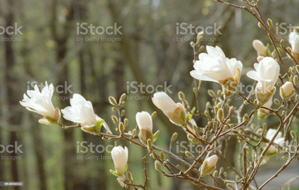 Branch full of white magnolia flowers, close-up image. Shot on film royalty-free stock photo