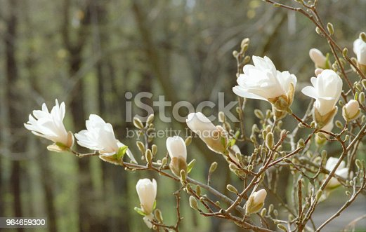 Branch Full Of White Magnolia Flowers Closeup Image Shot On Film Stock Photo & More Pictures of Backgrounds