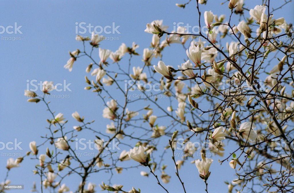 Branch full of white magnolia flowers in front of sky. Shot on film royalty-free stock photo