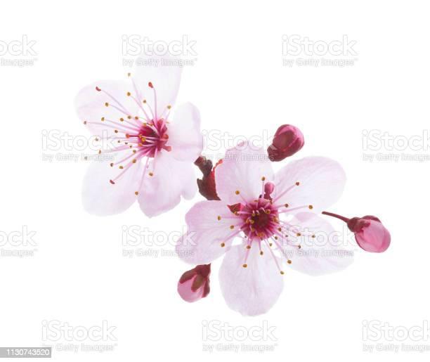 Branch in blossom isolated on white background plum picture id1130743520?b=1&k=6&m=1130743520&s=612x612&h=pzrz6rjtpl tdloxjmrjyziq53iqm hagxttuvfwtis=