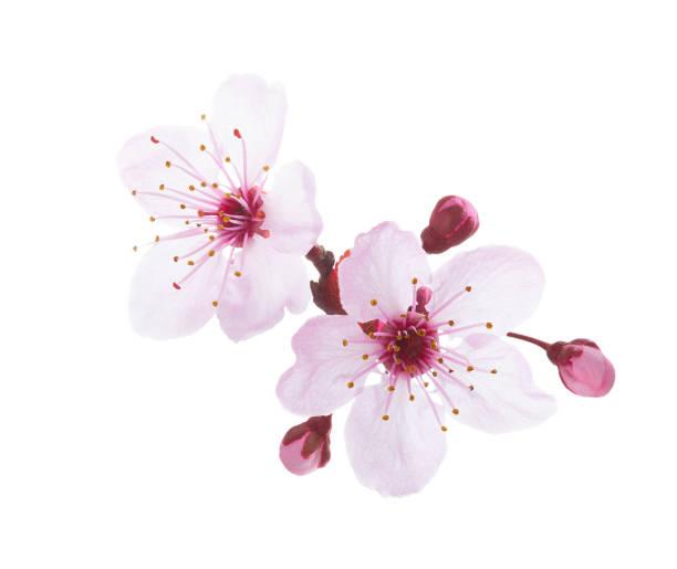 꽃 흰색 배경에 고립 된 분기입니다. 매 화. - 꽃밥 뉴스 사진 이미지