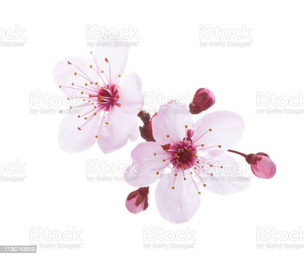 Photo of Branch in blossom isolated on white background. Plum.