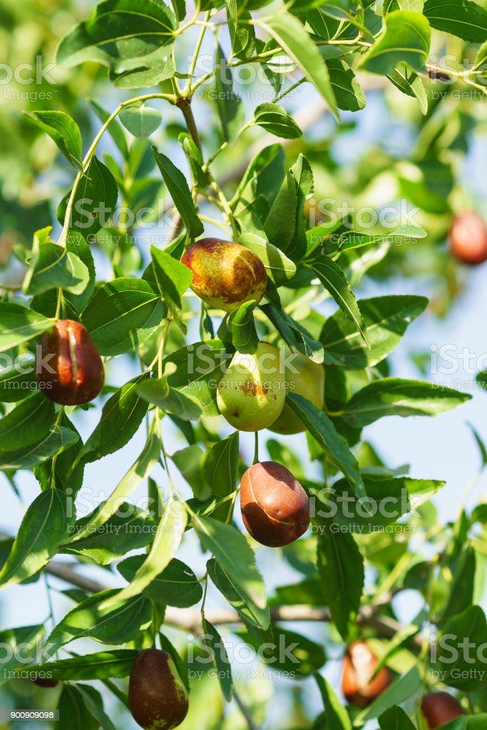 Branch jujube (lat. Ziziphus jujuba) from ripe fruits stock photo