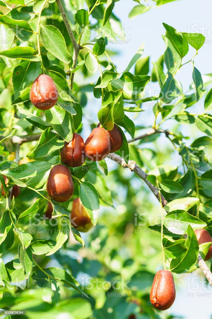 Branch jujube (lat. In the process jujuba) with ripe fruit. Good autumn harvest stock photo