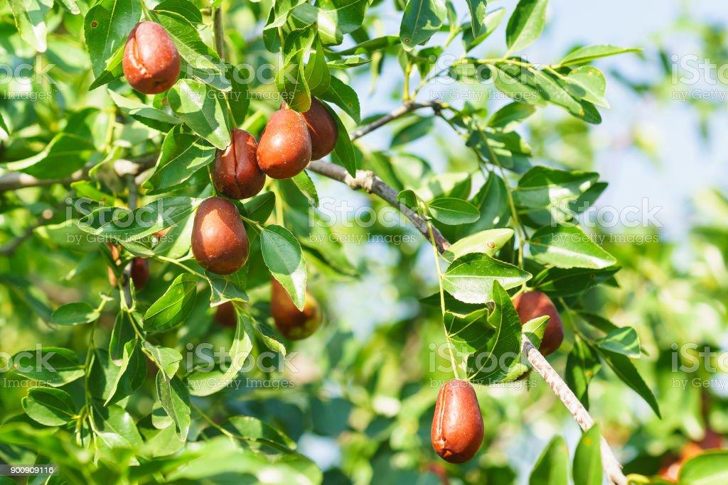 Branch jujube (lat. In the process jujuba) with ripe fruit stock photo