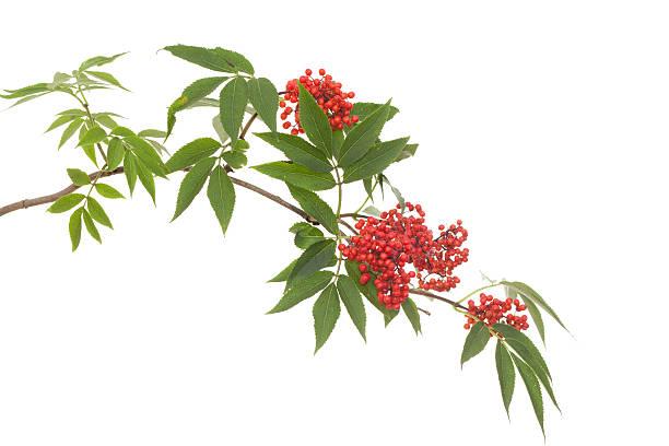 branch flieder - roter holunder stock-fotos und bilder