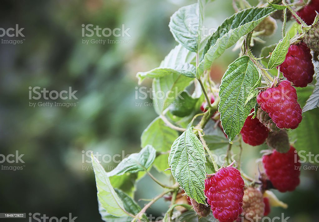Branch loaded with Ripe Red Raspberries stock photo