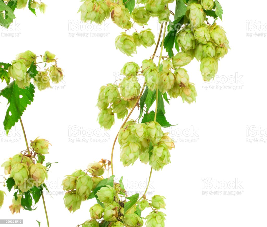 Branch od a beautiful hop. stock photo
