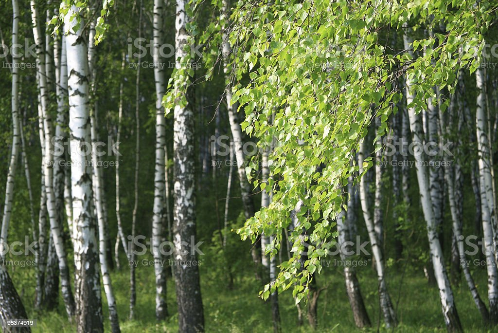 branch of a birch royalty-free stock photo