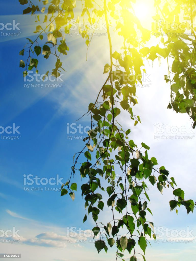 branch of a birch tree with sunlight on sky stock photo
