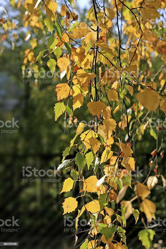 branch of a birch with autumn leaves royalty-free stock photo
