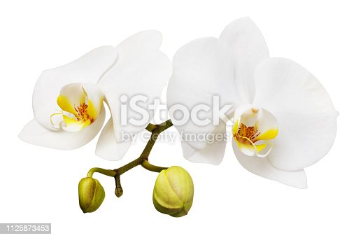 Branch of a blooming white orchid with a yellow color on the lip and a few unopened buds. Flowers isolated