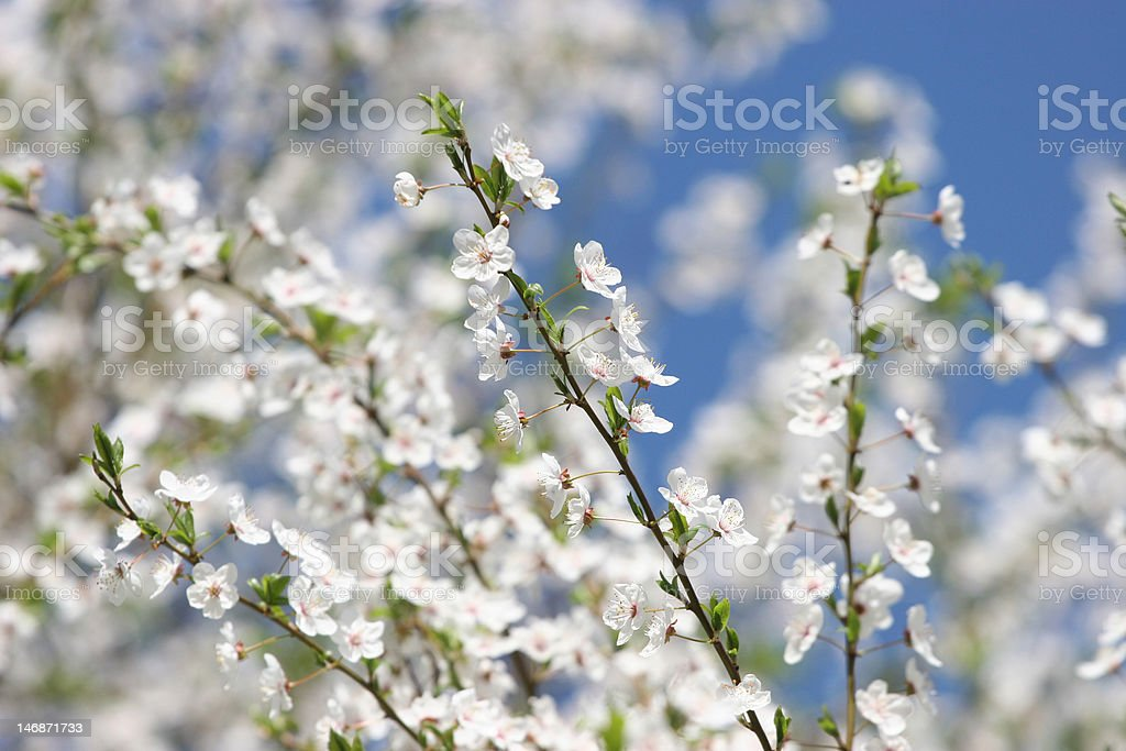 Branch of a blossoming cherry tree stock photo