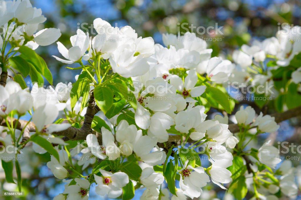 Bir çiçek açması armut ağacının dalını royalty-free stock photo