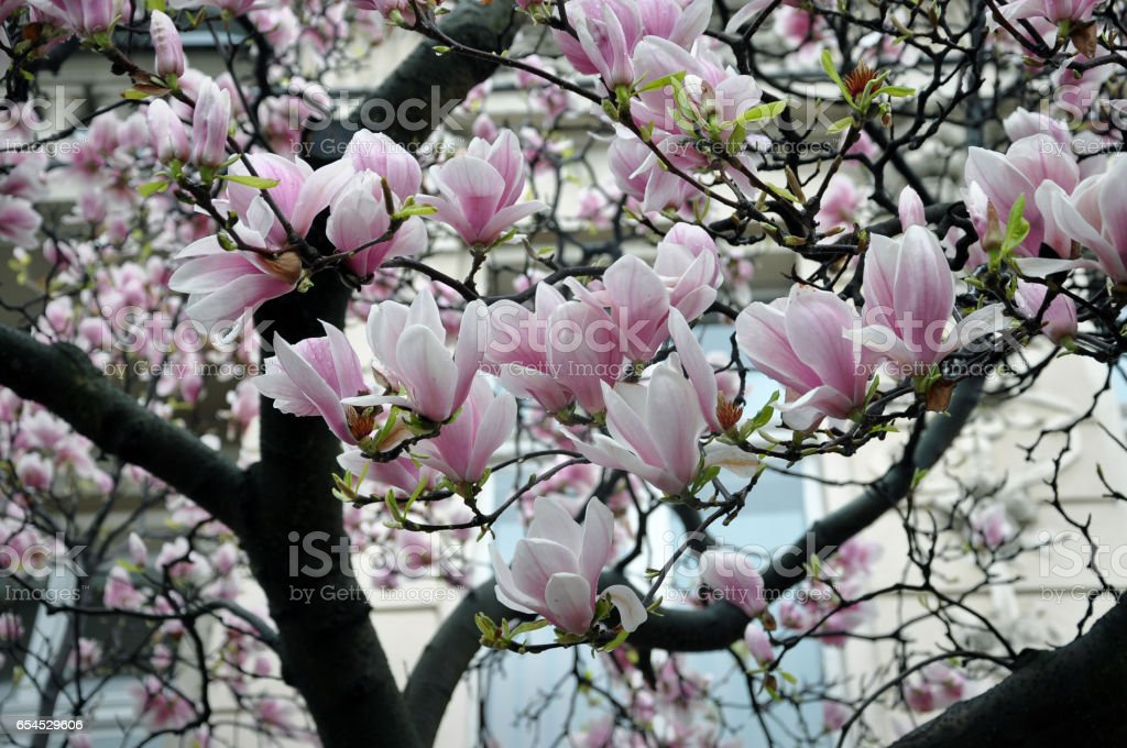 Branch Of A Blossoming Pink And White Magnolia Tree In Spring